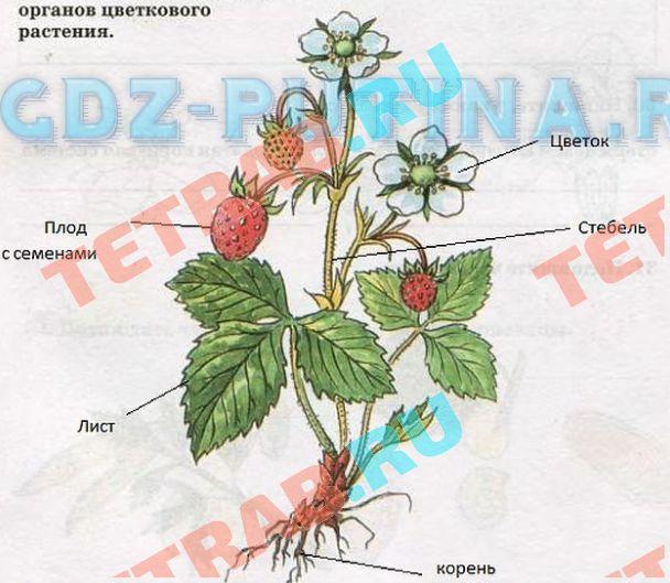 Биология 6 класс сонин читать органы цветковых растений